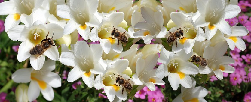 Flowers, Freesias, Bees, Insects, Pollen, Banner