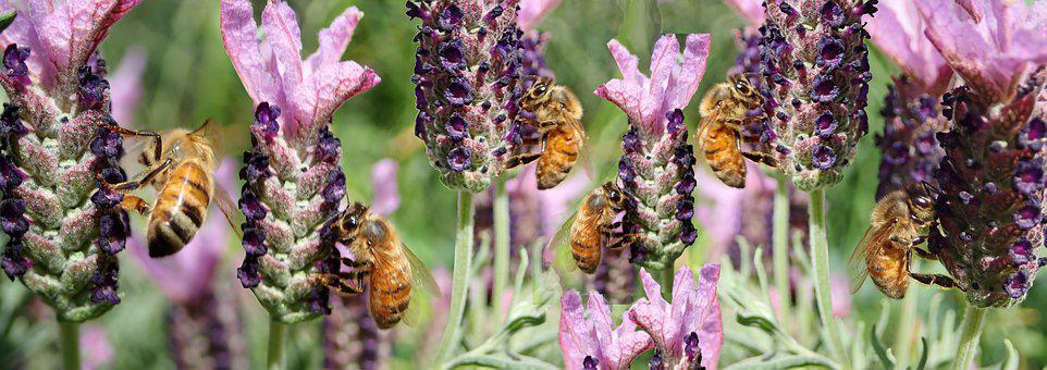 Bees, Insects, Pollen, Lavender, Flowers, Garden