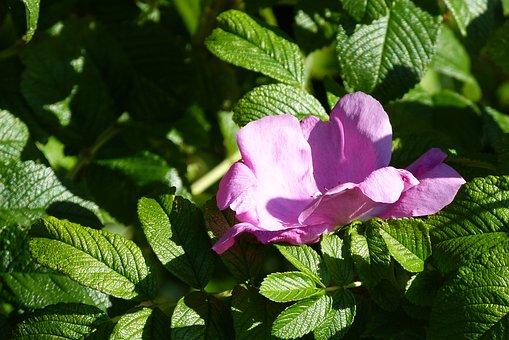 Blossom, Bloom, Rose Hip, Nature, Leaves, Bush, Bloom