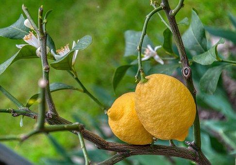 Lemons, Lemon Tree, Citrus Fruits, Lemon Flowers, Sour