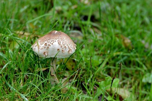 Mushroom, Grass, Pasture, Nature, Autumn, Season, Fungi