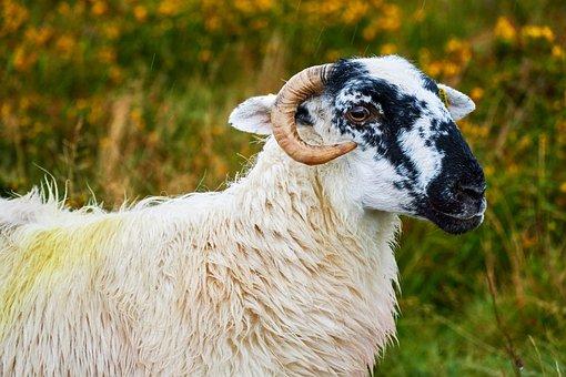 Sheep, Nature, Ireland, Wool, Animal, Mammal, Rural