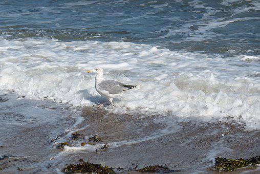 Baltic Sea, Gull, Sea, Water, Wave, Nature