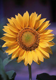 Sunflower, Flower, Yellow, Nature, Plant, Colorful