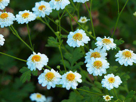 Chamomile, Flowers, Nature, Bloom, Spring, Summer