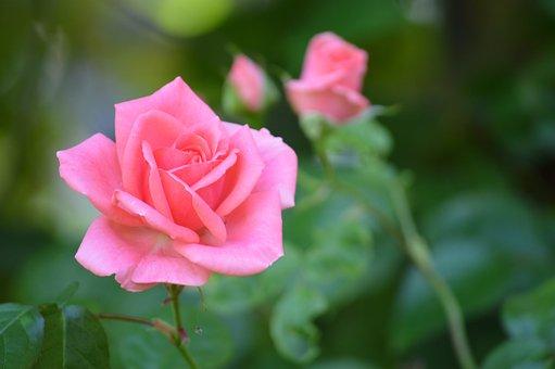 Pink, Flower, Flowers, Nature, Spring, Petals, Beauty