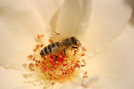 Bee, In The Flower, White, Insect, Collection, Nectar