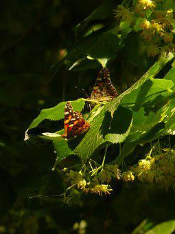 Butterfly, Linden, To Pollinate, Pollination, Nature