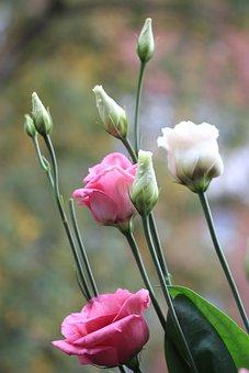 Blossom, Bloom, Rose, Pink, White, Flower, Romantic