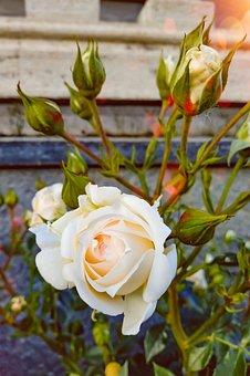 White Rose, Rosebuds, Sunset, Spring Evening, Flowers