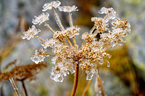 Meadow Hogweed, Seeds, Frost, Frozen, Icy, Cold, Frosty