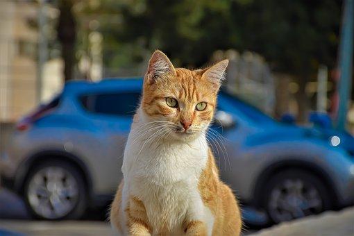 Cat, Car, Street, Portrait, Soft Character, Street Cat