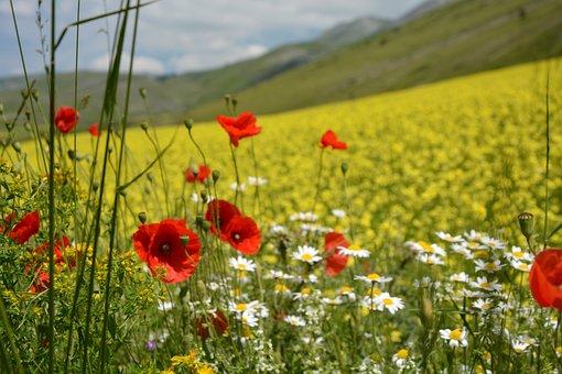 Bloom, Red, Prato, Poppy, Summer