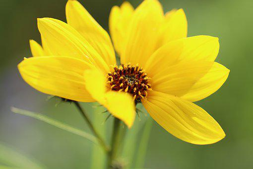 Sunflower, Willow-leaved Sunflower
