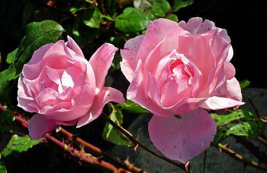 Roses, Pink, Flowers, Love, Nature, Romance, The Petals