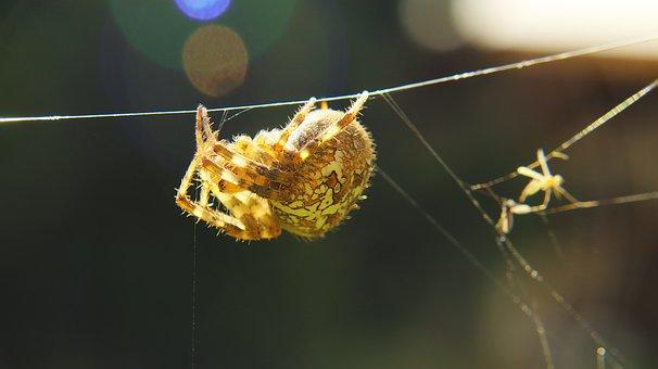 Insect, Cobweb, Macro, Animal, Web, Animal World