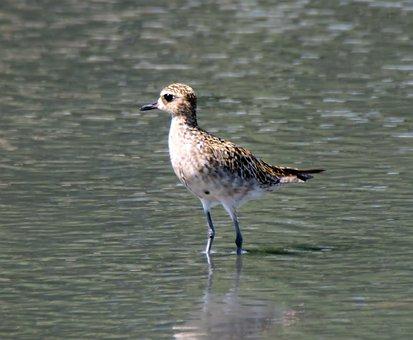 Golden Plover, Migratory, Wild, Bird, Wildlife