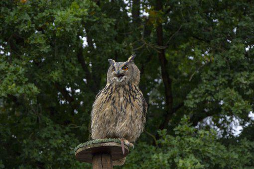 Owl, Nature, Bird, Animal, Wildlife, Predator, Feather