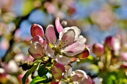 Apple Blossom, Flowers, Apple Tree, Apple