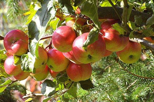 Apples, Apple, Fruit, Garden Tree, Mature, Sad