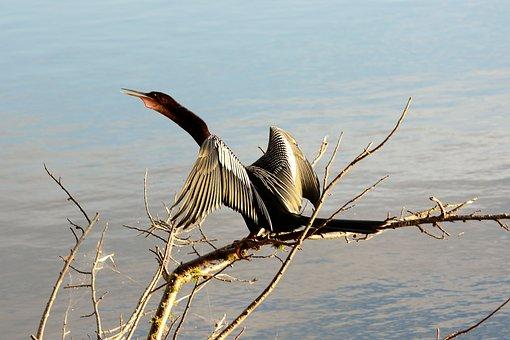 Bird, Beautiful, American Darter, Snake Bird