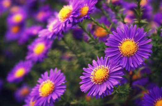 Asters, Blossom, Bloom, Flowers, Bloom, Close Up