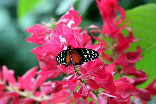 Butterfly, Pink, Flower, Nature, Blossom, Bloom, Insect