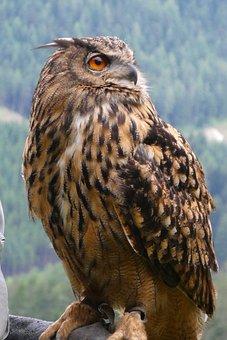 Owl, Feathers, Eyes, Bird Of Prey, Plumage