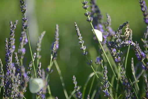 Butterfly, Lavender, Flower