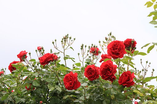 Roses, Red, Nature, Plant, Flower, Love, Leaves