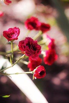 Roses, Red, Flowers, Beauty, Bloom, Flora, Garden