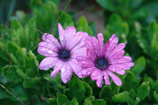 Flowers, Pink, Morning, Dew, Timothy The Seca