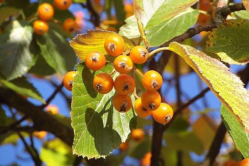 Scarlet Light, Fruit Bright, Spherical, Yellow, Orange