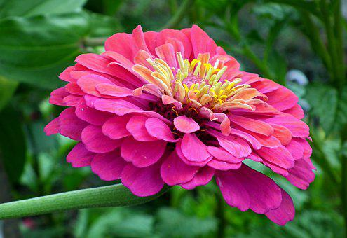 Zinnia, Flower, Pink, Garden, Nature, Macro, Closeup