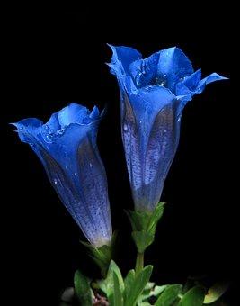 Gentian, Blue, Clusius Gentian, Gentiana Clusii