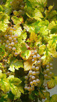Grapes, Vine, Fruit, Grapevine, Sweet