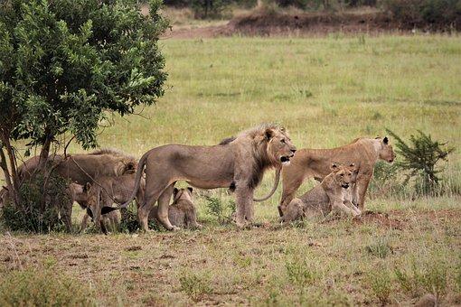 Pride, Lion, King, Stare, Eyes, Teeth, Royal, South