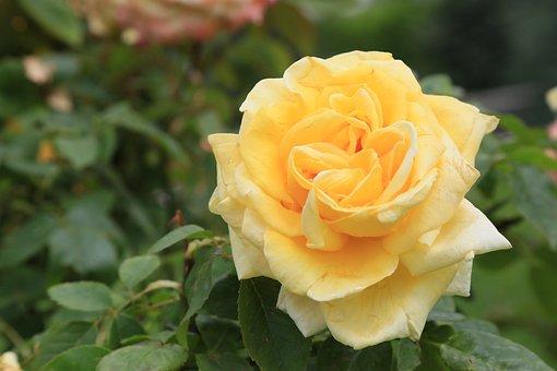 Rose, Nature, Love, Romantic, Plant, Beautiful, Bud