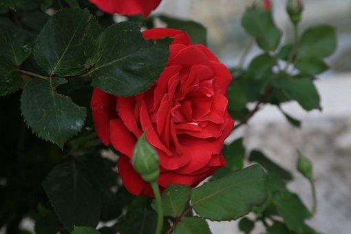 Rose, Red, Spring, Flower, Plant, Love, Romantic