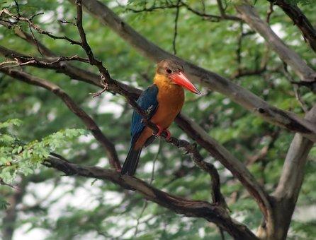 Stork Bill Kingfisher, Wild, Bird, Wildlife, Perch