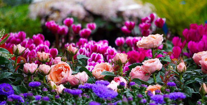 Cyclamen, Blossom, Bloom, Flower, Nature, Pink, Flora