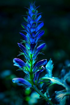 Blue Blossom, Plant, Perennials, Wild Flowers, Herbs