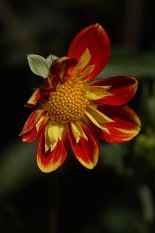 Dahlia, Pooh, Nature, Blossom, Bloom, Ruff Dahlia