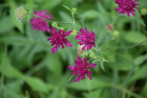 Flower, Purple, Wildflower, Wild, Lawn Types, Green