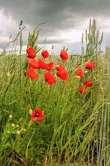 Poppy, Poppies, Meadow, Summer, Flower, Red, Field