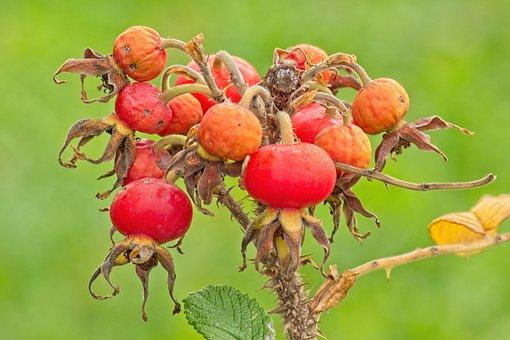 Rose Hip, Fruit, Autumn, Red, Wild Rose, Branch