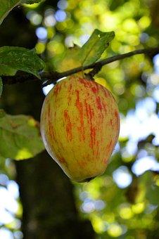 Apple, Apple Tree, Fruit, Ripe, Autumn, Branch, Healthy