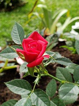 Flower, Rosa, Field, Red, Green, Spring, Garden