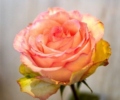 Rose, Blossom, Bloom, Flower, Pink, Romantic