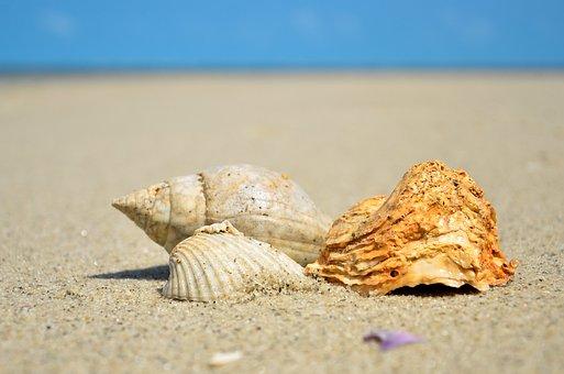 Sea, Shell, Ocean, Seashell, Beach, Marine, Water